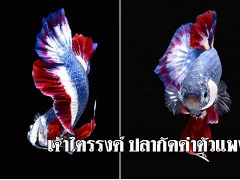 เจ้าไตรรงศ์ ปลากัดราคาแพงของไทย กับสีสวยที่เป็นเอกลักษณ์